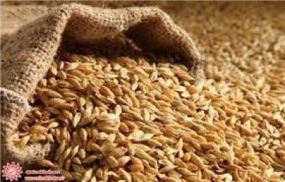 چشم روشنی تولید گندم با کاهش 30 درصدی